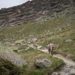 Stambecchi sul sentiero del Rifugio Chabod.