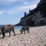 Una famiglia di maialini ci accoglie a Cala Sisine. Selvaggio Blu.